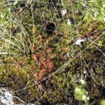 ◼Luolikkoa reunustavilla soilla viihtyy esimerkiksi lihansyöjäkasvi, punaisena erottuva kihokki.
