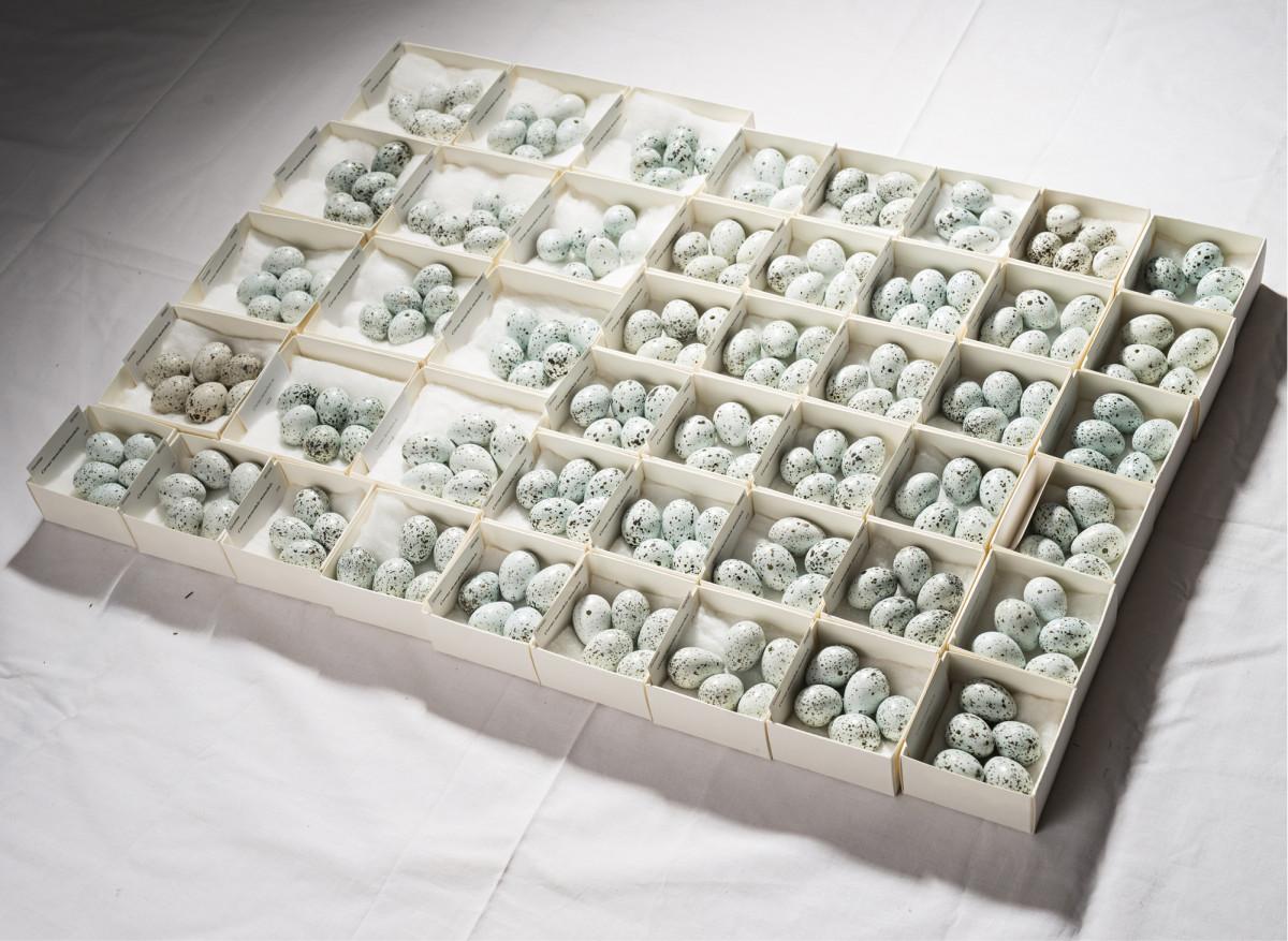 ◼Johan rengasti viisi naakkaa ja keräsi laittomasti arviolta kaksisataa naakan munaa.