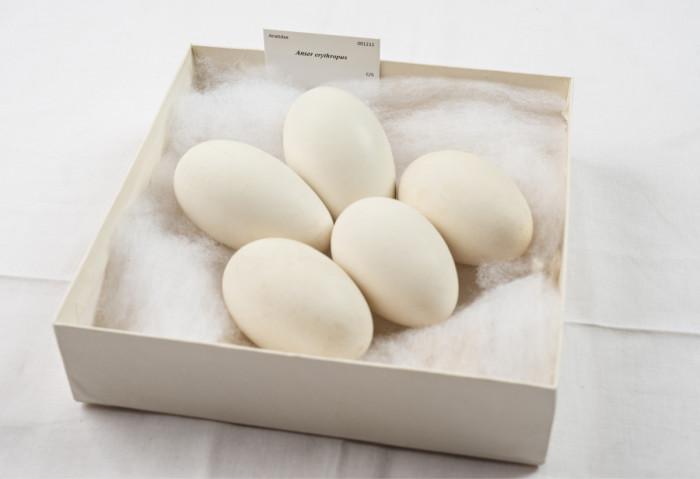 ◼Linnunmunia takavarikoitiin 8373 kappaletta. Joukossa oli äärimmäisen uhanlalaisen kiljuhanhen munia.