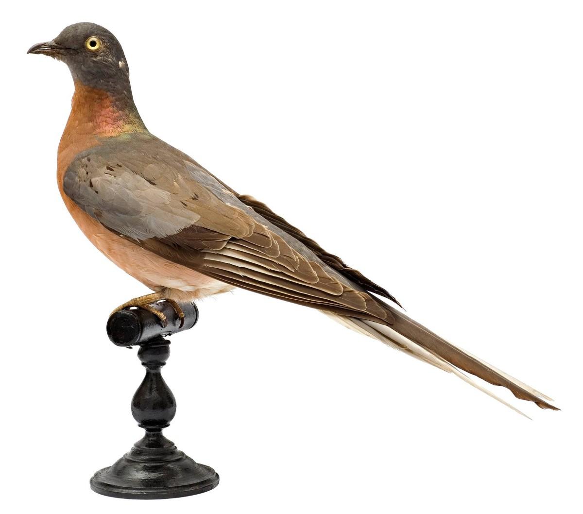 Täytetty muuttokyyhky Lontoon luonnontieteellisessä museossa. Kuva Natural History Museum, London / Science Photo Library