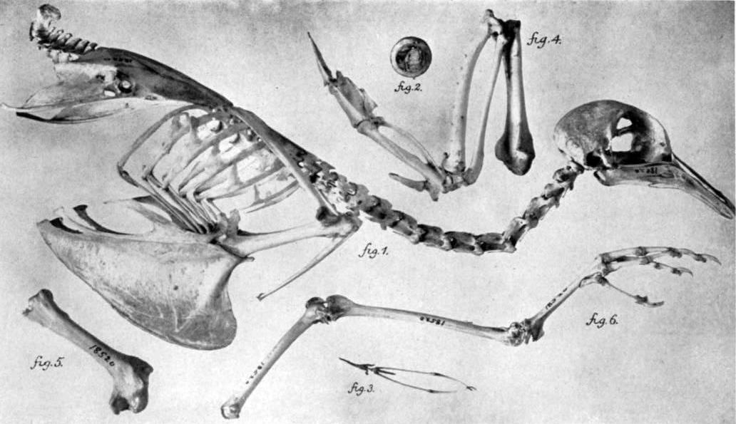 Muuttokyyhkyn luuranko. Kuva Wikimedia Commons