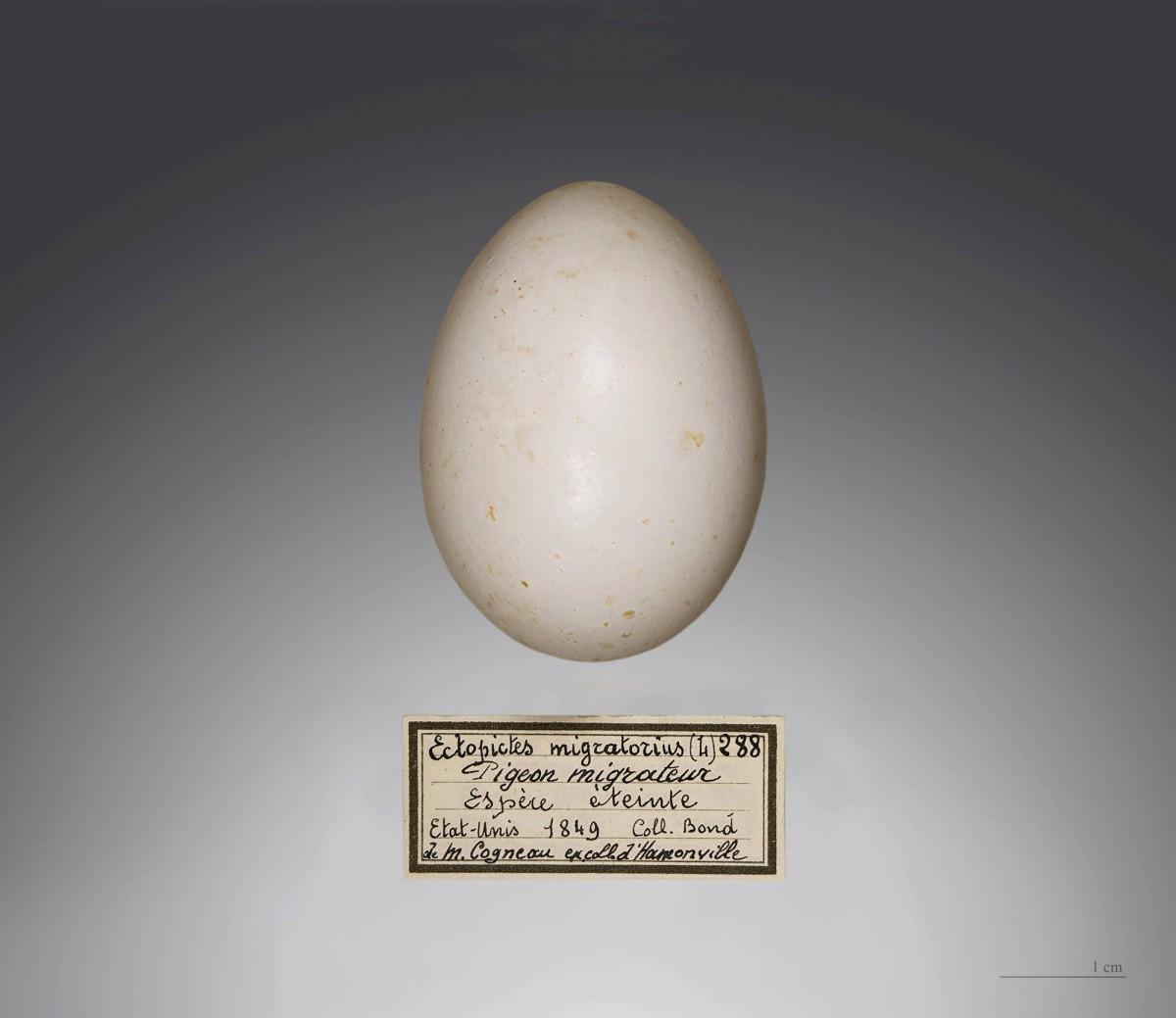 Muuttokyyhkyn muna, Toulousen luonnontieteellinen museo. Kuva Didier Descouens / Wikimedia Commons