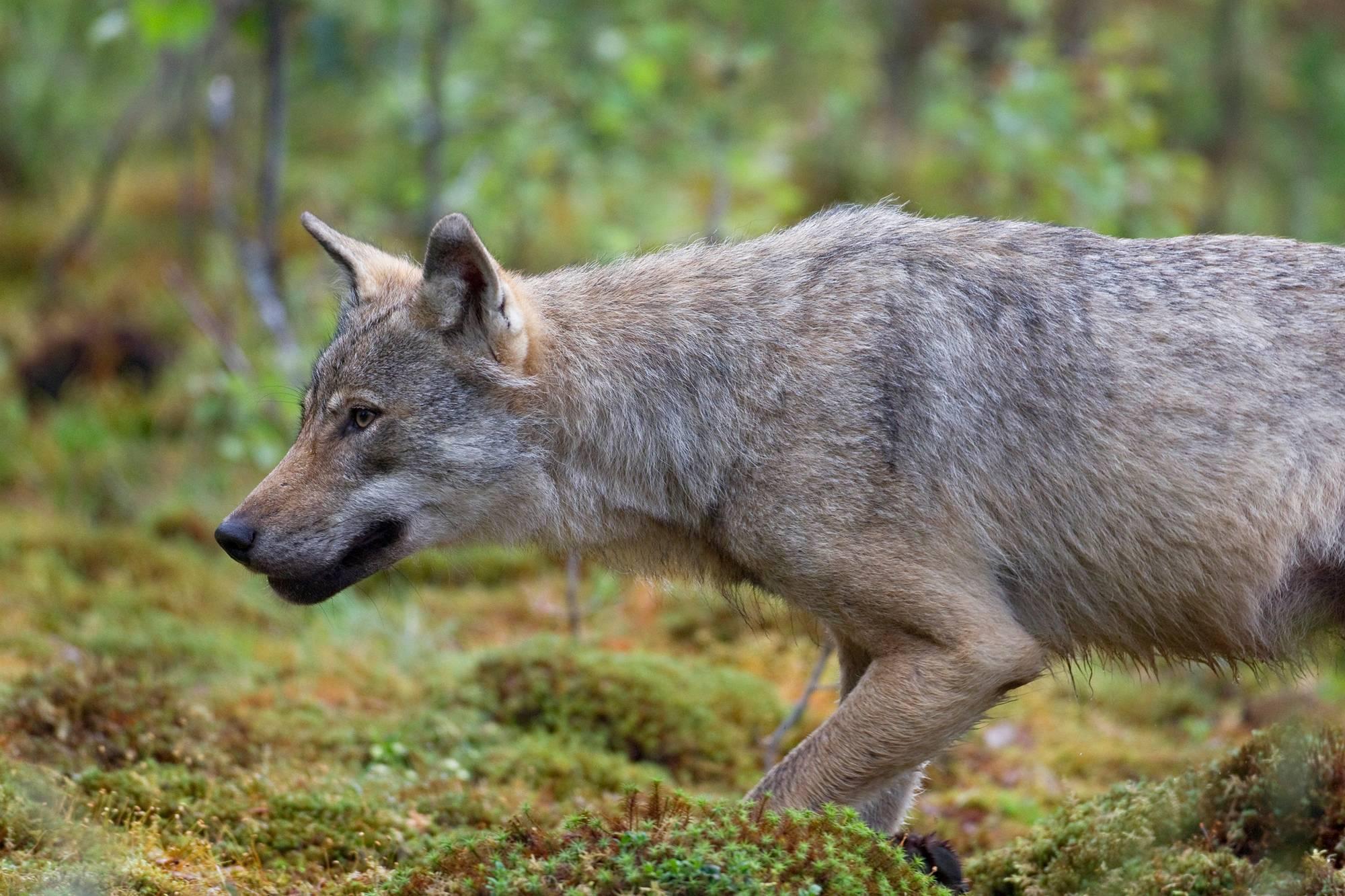 Yksinäinen susi. Suomussalmi, 2011.