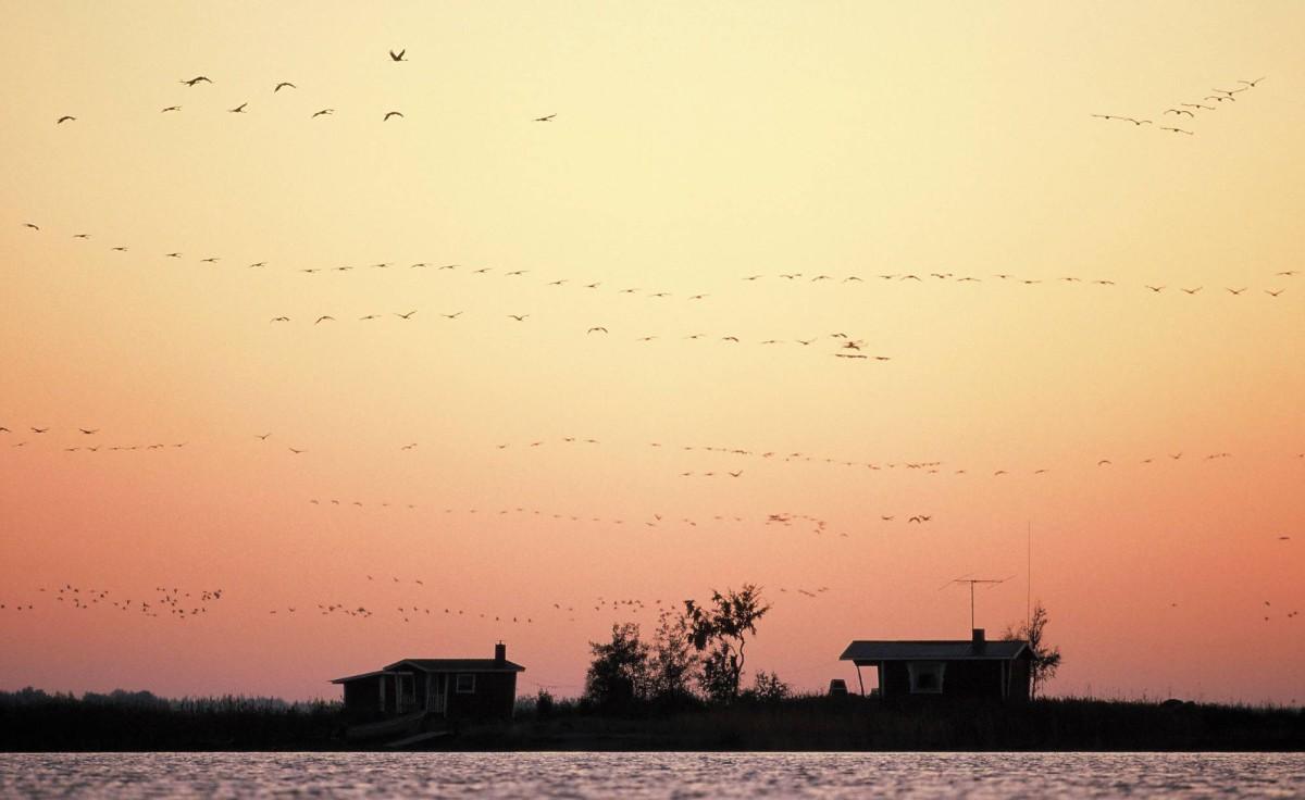 Parvet lentävät merelle ja takaisin aamun ja illan hämärässä.