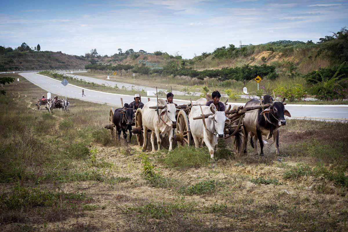 Puiset härkävankkurit tekevät matkaa kohti pääkaupunkia Naypyidaw'ta.