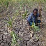 Maanviljelijä tutkii kuivuuden runtelemaa peltoaan Megentessa Afarin osavaltiossa Etiopiassa 26. tammikuuta 2016.
