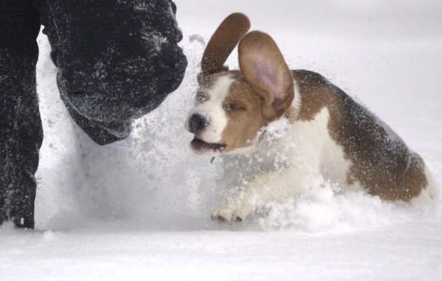 beagle_koira_lemmikki_-630x400.jpg