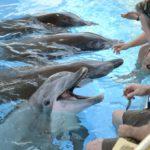 Särkänniemen delfiinit Leevi, Delfi, Veera ja Eevertti Attica Parkin delfinaariossa Ateenan lähellä Kreikassa 28. elokuuta 2016.