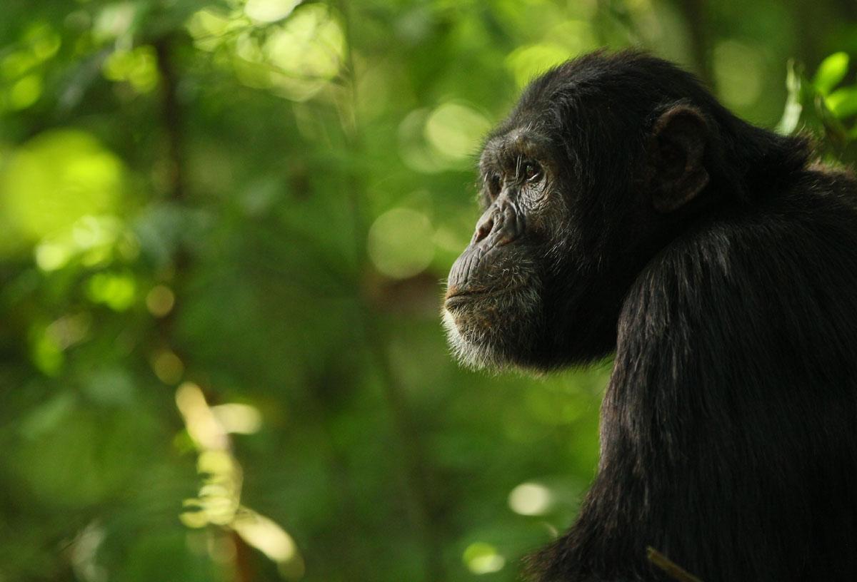 Urossimpanssi Kibalen kansallispuistossa Ugandassa.