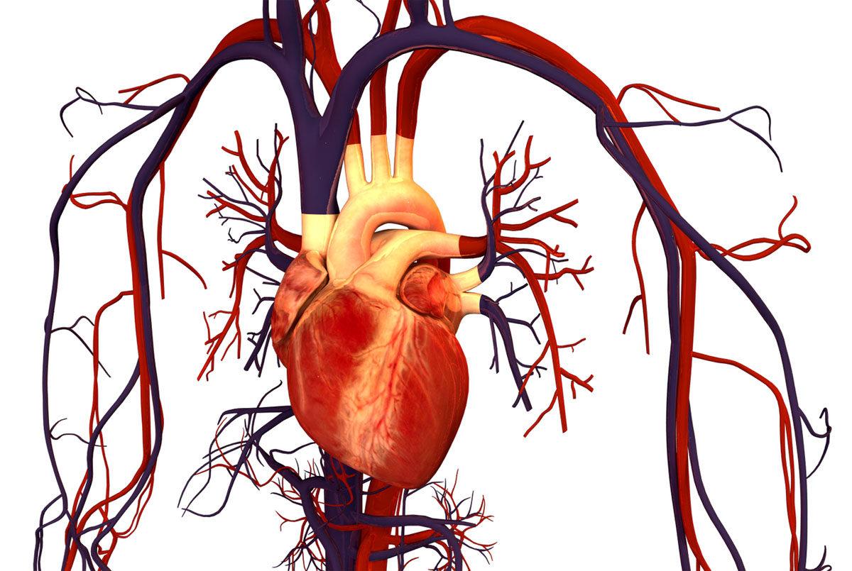 Ihmisen sydän ja verenkiertoelimistö.