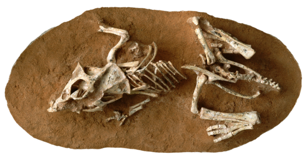 Pikkudinosaurus Proceratopsin fossiili.