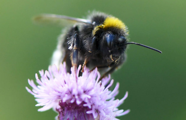 Pölyttäjähyönteisten katoaminen voi uhata miljoonien ihmisten ruoansaantia. Kimalainen kukassa Helsingissä 29. heinäkuuta 2016.