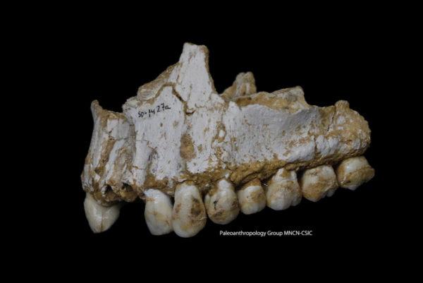 El Sidrónin luolasta löytyneen neandertalilaisfossiilin takahampaassa näkyy hammaskiveä. Tämä yksilö oli syönyt poppelia sekä homekasvustoa, joka sisälsi Penicillium-sientä.