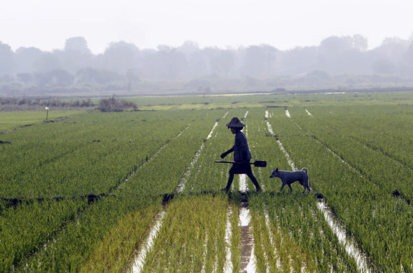 Riisiviljelmä Burman eli Myanmarin Naypytawissa 2. maaliskuuta 2017.