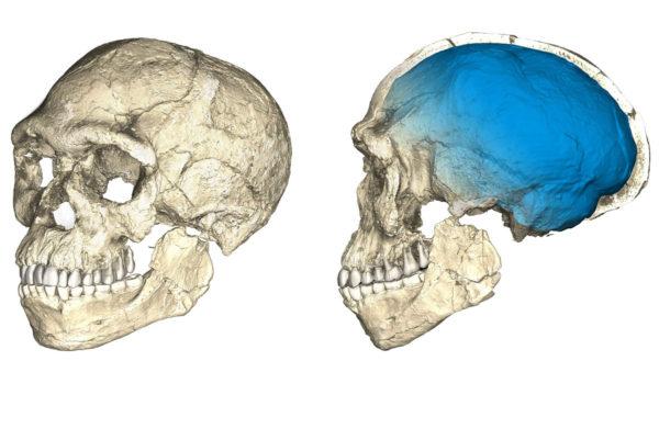 Mikrotomografian avulla koostetut kuvat Jebel Irhoudista löydetyistä fossiileista osoittavat, että ihmisellä oli tutunnäköiset kasvot jo 300000 vuotta sitten. Sen sijaan pääkoppa (sininen) oli erilainen.
