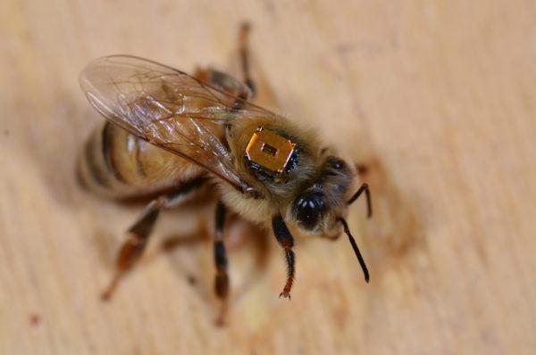 Tutkijat seurasivat työläismehiläisten liikkeitä pienten radiolähettimien avulla.