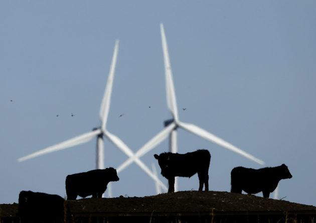 Karja laiduntaa tuulivoimaloiden juuressa Vesperissä Kansasin osavaltiossa. Uusiutuvan energian tuotanto kasvaa Yhdysvalloissa kovaa vauhtia, vaikka presidentti Donald Trump vetäytyisi Pariisin ilmastosopimuksesta.