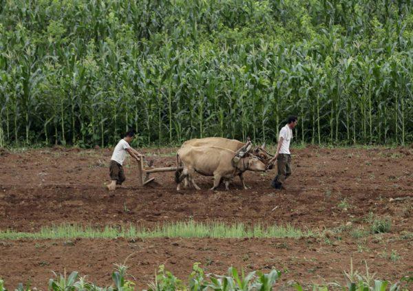 Miehet työskentelivät pellolla Pohjois-Korean Sangwonissa 20. heinäkuuta 2017.