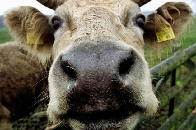 Saksalainen lehmä.