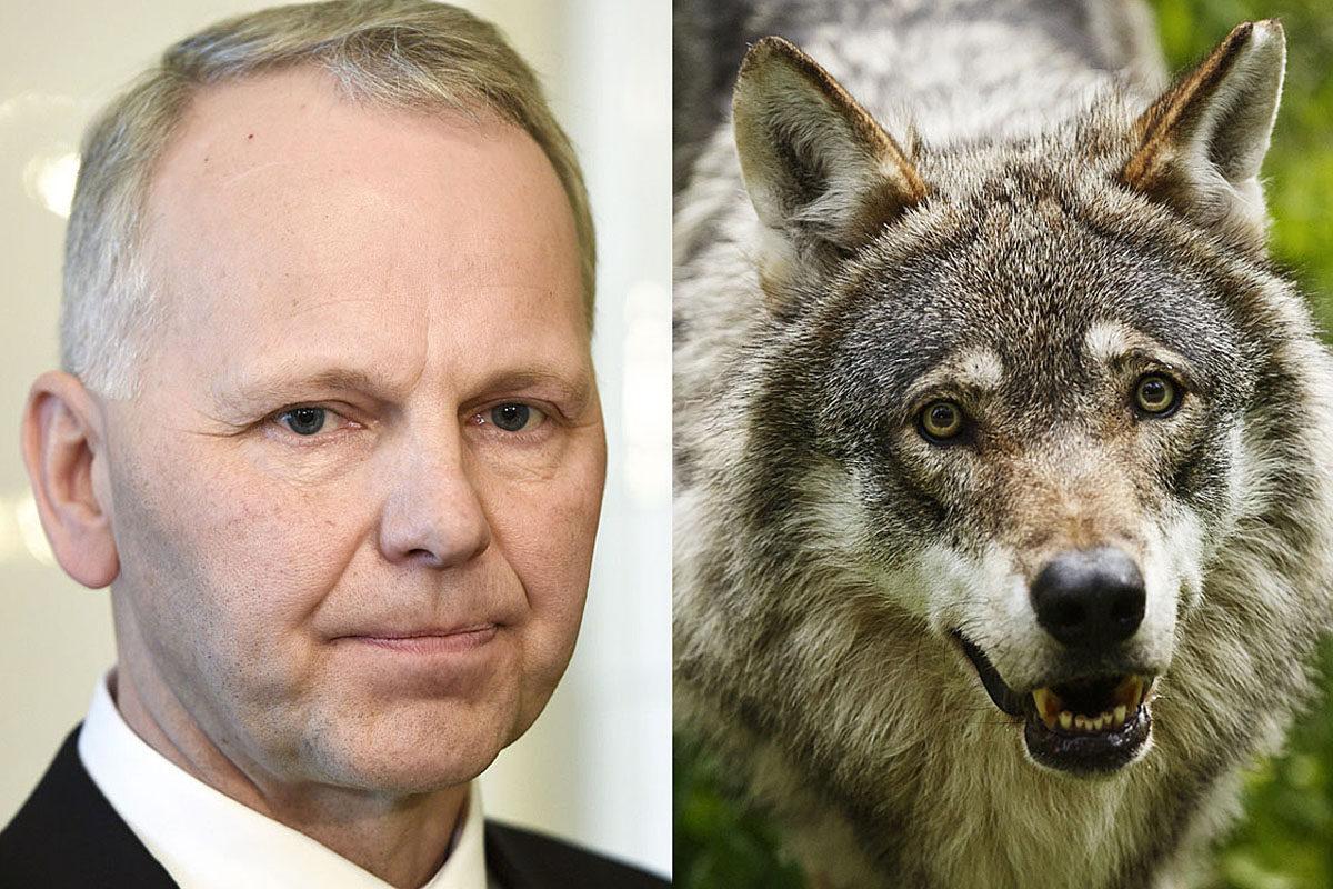 Ministeri Jari Leppä (kesk) ja susi (Canis lupus).