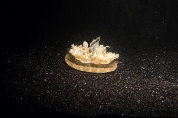 Cassiopea-meduusa sykähtelee hereillä ollessaan 58 kertaa minuutissa, torkkuessaan tahti harvenee 39:ään.