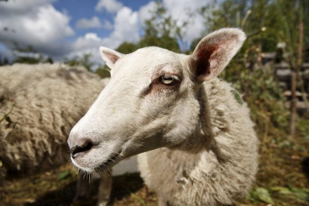 Lammas.
