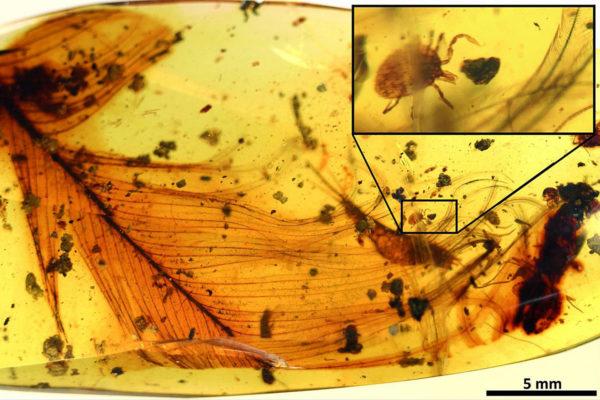Meripihkasta löytyi 100 miljoonaa vuotta vanha punkki, joka takertui dinosauruksen sulkaan.
