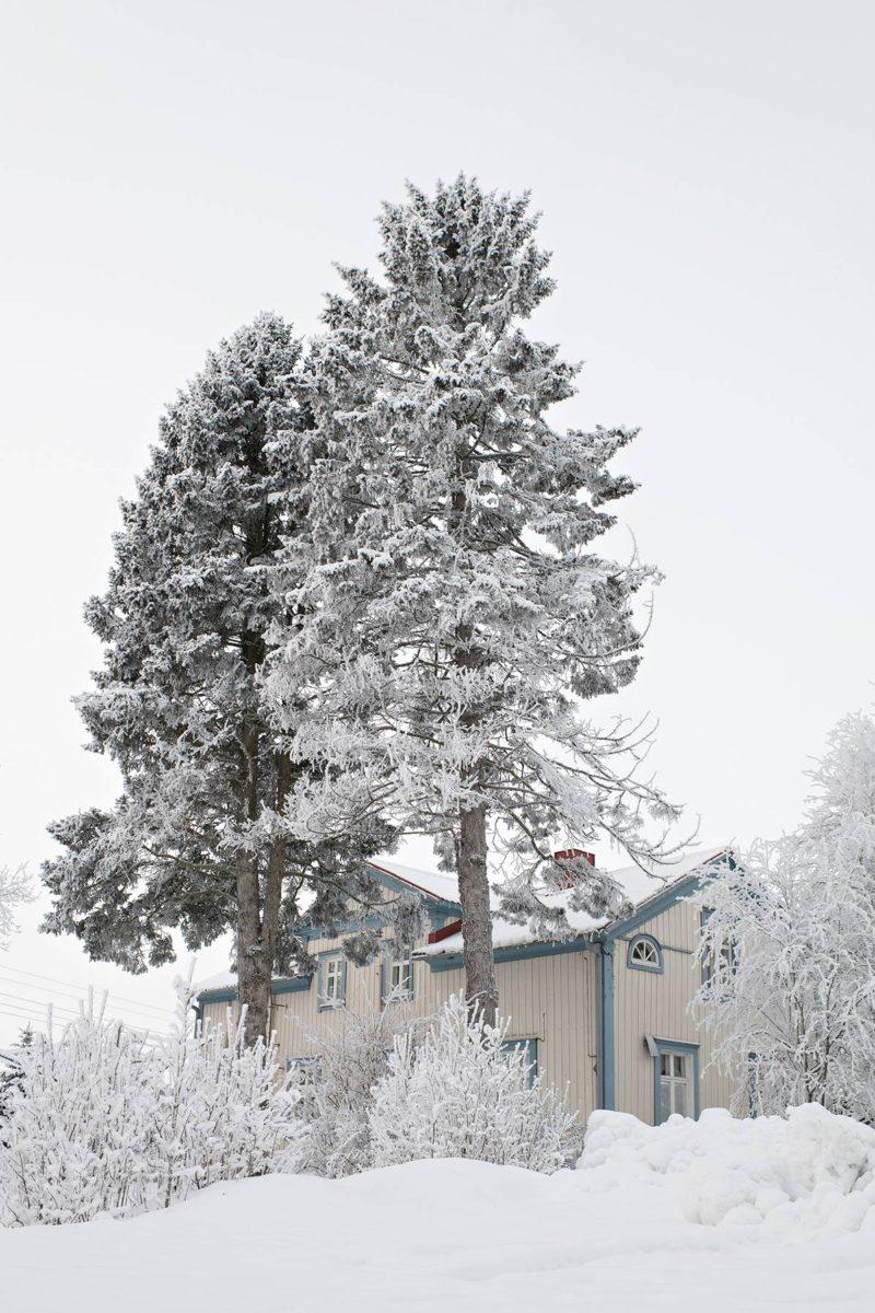 Tuliaisista, sinikuusen siemenistä, on kasvanut suuret puut.