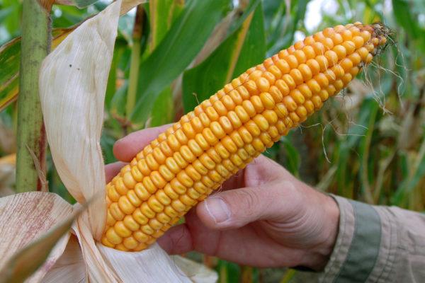 Maissi on yksi maailman viljeyllyimmistä kasveista.