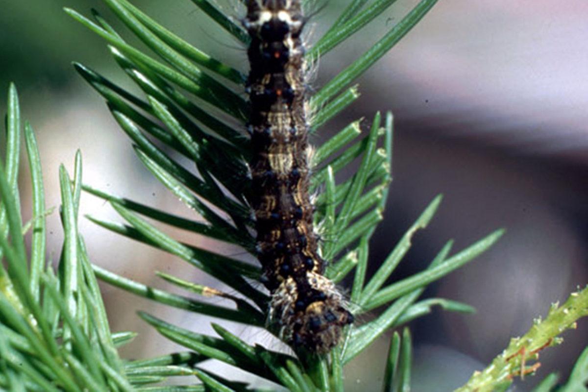 Havununnan (Lymantria monacha) toukka.