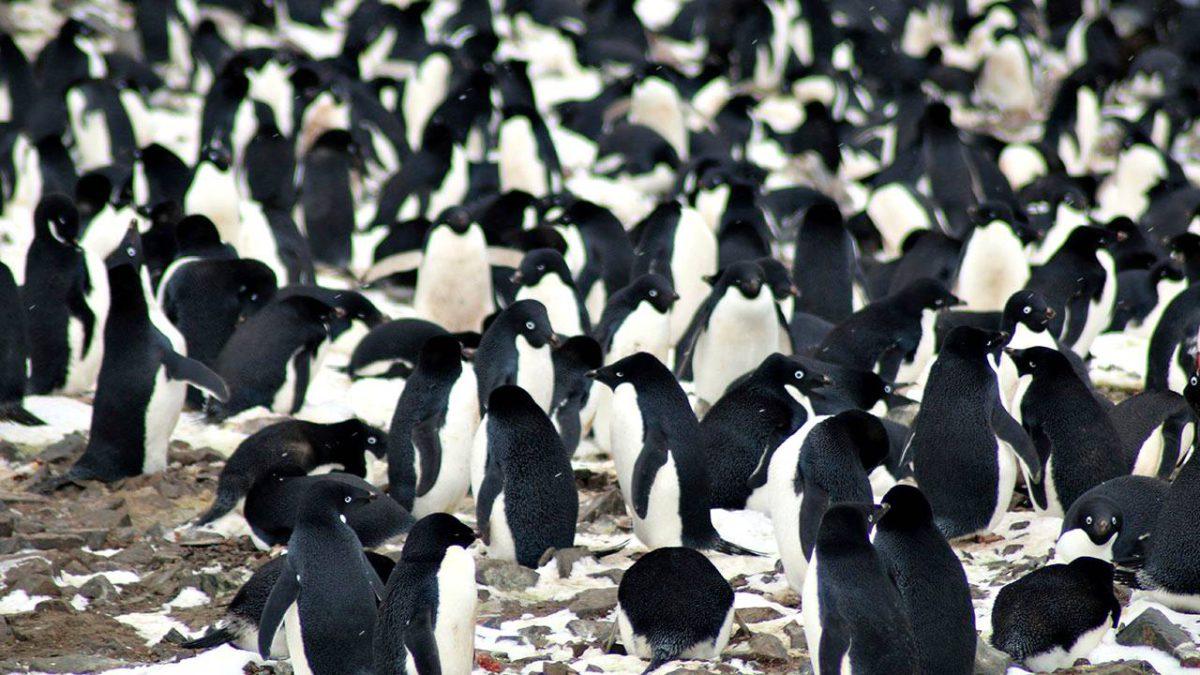 Aiemmin tuntemattomaan jääpingviinien yhdyskuntaan kuuluu yli 750000 pariskuntaa.