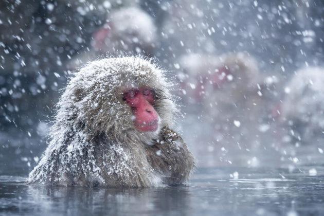 Japaninmakaki kuumassa lähteessä Jigokudanin apinapuistossa Naganon prefektuurissa Japanissa.