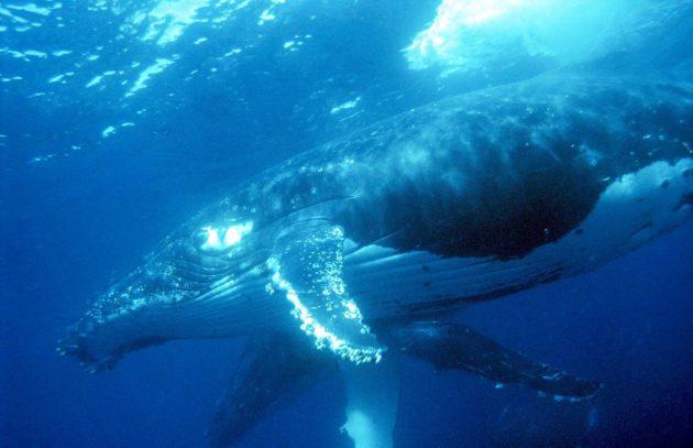 Ryhävalas on palannut elinvoimaisten lajien joukkoon.