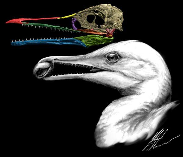 Ichthyornis dispar -lajin fossiilin rekonstruktio ja taiteilijan näkemys lajista.