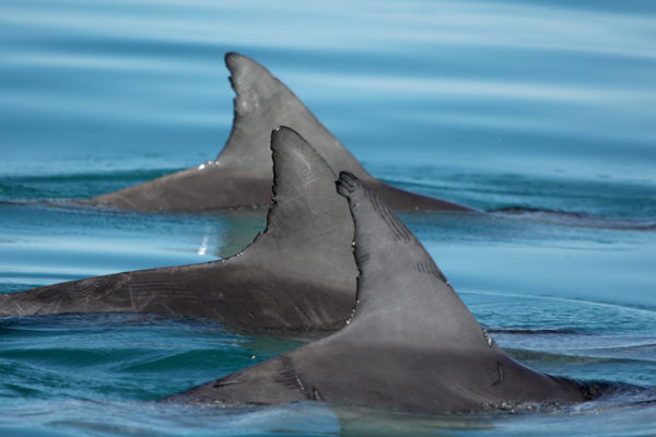 Urosdelfiinit muodostavat läheisiä liittolaisuussuhteita ihmisten tapaan.