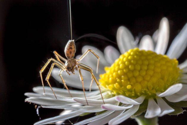 Seitin avulla liitävä hämähäkki kukan terälehdillä.