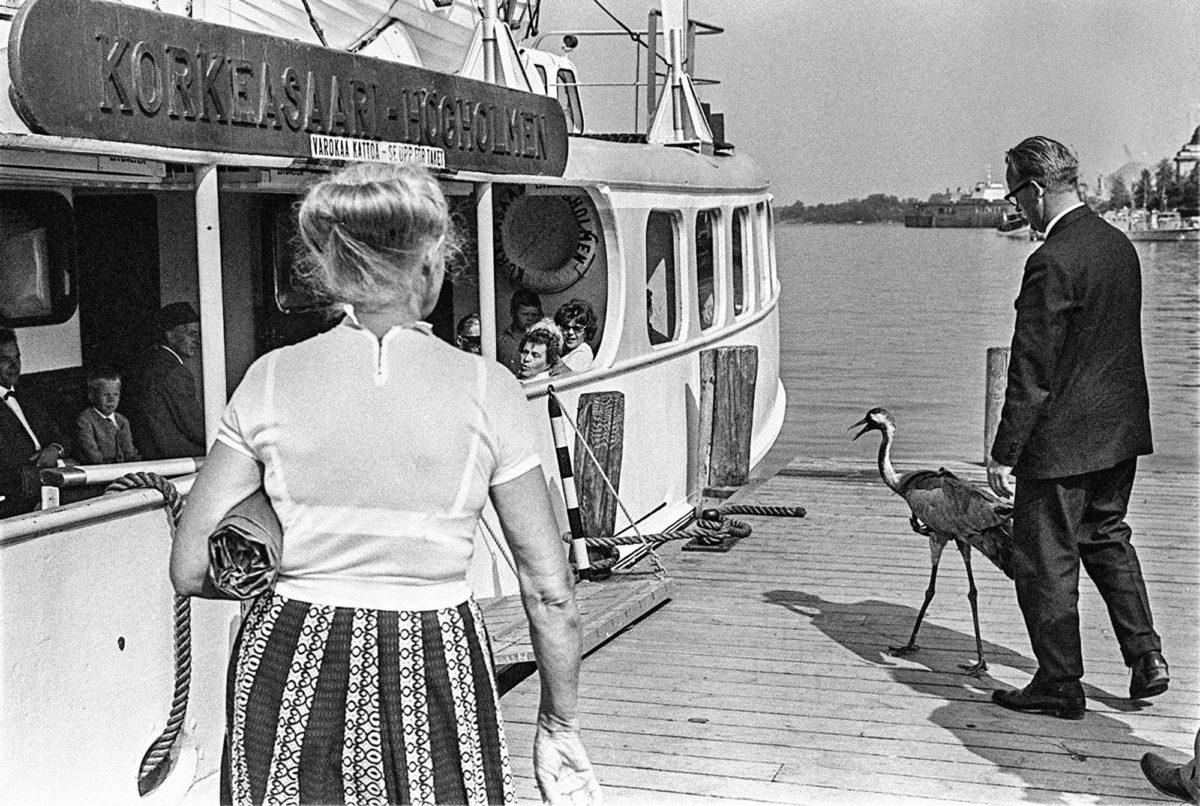 Kalle Kultala: Kesy kurki pyrkii Korkeasaaren lauttaan kesällä 1964.