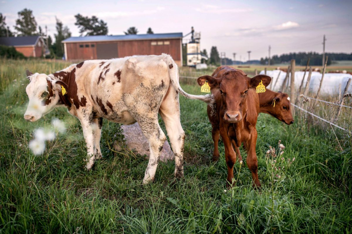 Orimattilan lehmät elävät kesäajassa vuonna 2018.