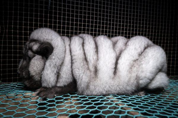 LKS 20170815 Oikeutta eläimille -yhdistys on julkaissut uusia salaa kuvattuja kuvia jättikokoisiksi jalostetuista naaleista turkistarhoilta. Yhdistyksen julkaisemat kuvat on otettu tänä vuonna Etelä- ja Keski-Pohjanmaalla sekä Pohjanmaan maakunnassa. LEHTIKUVA / HANDOUT / OIKEUTTA ELÄIMILLE