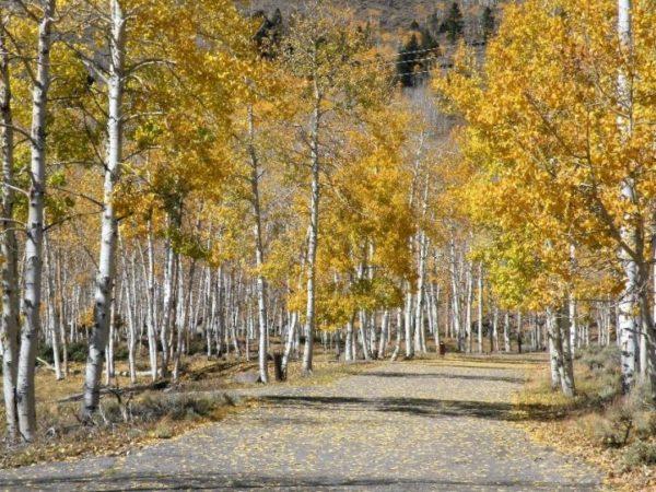Pando-lehto syksyn väreissä Utahissa. Jokainen lehdon puu on klooni.