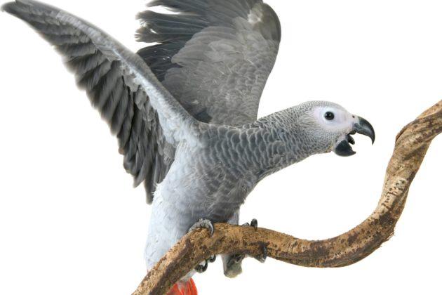 Nuori harmaapapukaija. Vanhemmiten linnun silmät muuttuvat keltaisiksi.