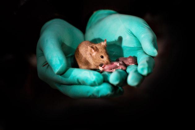 Kahden naaraan synnyttämä hiiri omine poikasineen Kiinassa.