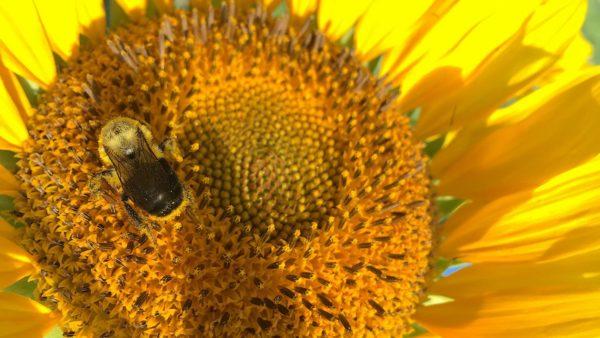 Mehiläinen ja auringonkukka.