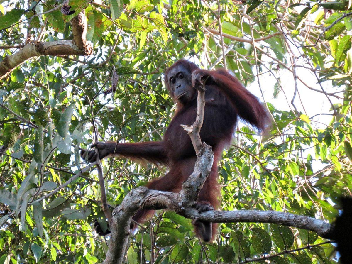 Orankeja elää enää vain Borneon ja Sumatran saarilla.
