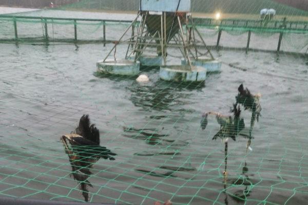 Kuolleita harmaahaikaroita merellä sijaitsevalla kalankasvattamolla syksyllä 2018.