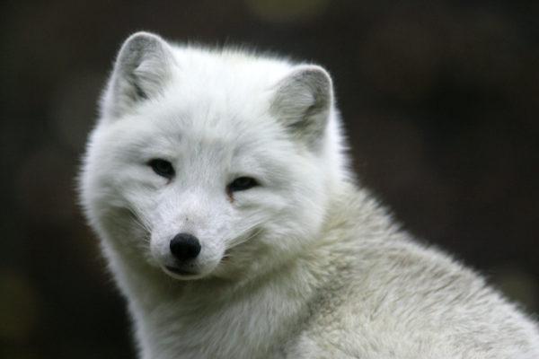 Naali (Alopex lagopus) talviturkissaan Ähtärin eläinpuistossa.