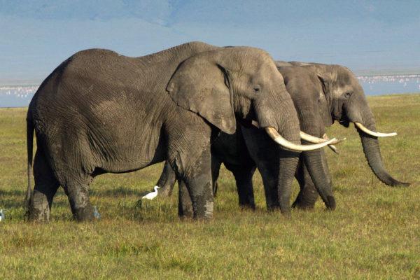 Afrikannorsuja Ngorongoron kraatterissa Tansaniassa. Kuva vuodelta 2003.