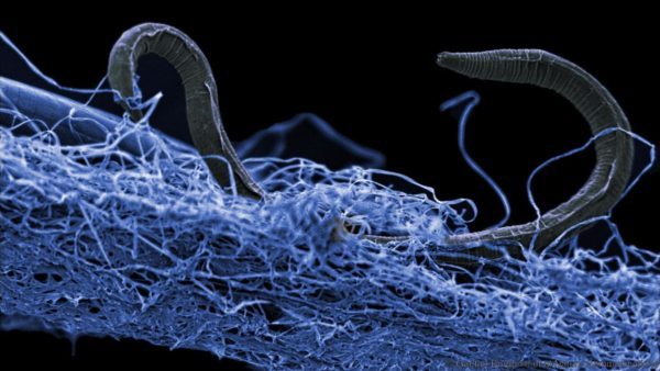 Elektronimikroskooppikuva sukkulamadosta, jonka tutkijat löysivät 1,4 kilometrin syvyydestä eteläafrikkalaisesta kultakaivoksesta.