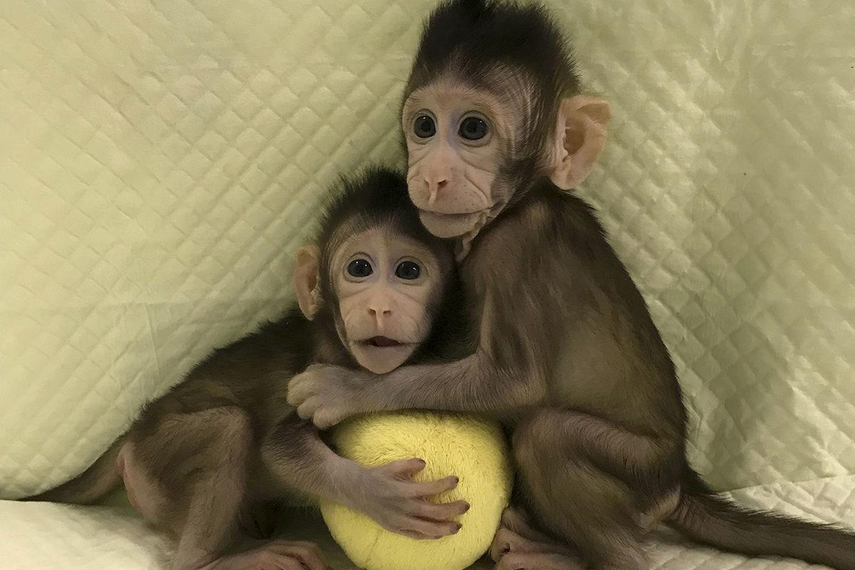 Kloonatut kaksosapinat Zhong Zhong ja Hua Hua.