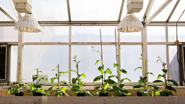 Kuvassa geenimuokattuja ovat neljä kasvia oikealta.